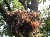 Нове гніздо підорлика. Масив Сомине