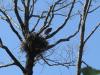 Пташеня із гібридної пари, вже добре літає