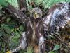 Пташеня малого підорлика, захисна поза