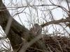 Взрослая птица ранней весной на гнезде
