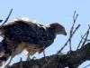 23-го июня 2 слетка размером почти со взрослую птицу держатся у гнезда