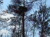 Жилое гнездо большого подорлика на засохшей сосне