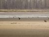 На одном пруду могут быть одновременно десятки орланов (на снимке видно 14 ос.)