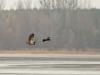 Нечасто увидишь, чтобы орлан гнал ворона, а не наоборот