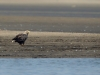 Дорослий орлан-білохвіст біля води