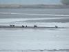 Група різновікових орланів на спущеному ставку