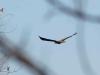 Молодий орлан у польоті, Кременчуцька ГЕС. Фото М. Борисенко