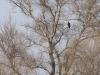 Молодий орлан-білохвіст, Кременчуцька ГЕС. Фото М. Борисенко