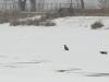 Молодий орлан на вкритій льодом та снігом поверхні водойми, м. Черкаси, очисні споруди. Фото М. Борисенко