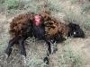 Результат охоты волка на овец (убито 13 животных)