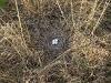 Гнездо степного луня