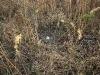 Гнездо степного луня в разреженных зарослях тростника