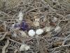 В гнезде 2 яйца