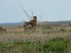 Обыкновенный канюк (vulpinus) здесь только на миграциях