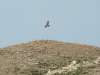 Молодой степной орел