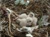 У курганников 4 птенца и принесенная родителями добыча