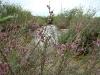 На р. Ай цветут тамариксы