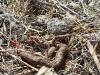 Удавчик - частая добыча хищных птиц