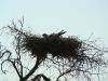 Курганник на гнезде