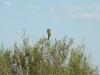 Пустынный сорокопут с добычей