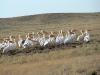 Розовые пеликаны у р. Аягуз