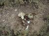 Гнездо дрофы, разоренное черной вороной