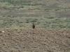 Самец степного орла на наблюдательной точке
