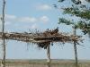 Гнездо курганника на крыше навеса