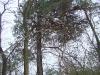 Гнездовое дерево с установленной защитой от куниц до нанесения маскирующего покрытия