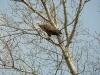 Взрослый самец орлана-белохвоста