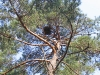 Нежилое гнездо змееяда на вершине сосны