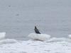 Белохвост отдыхает на глыбе льда