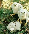 Гнездо тетеревятника