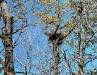 Рис. 5.2 Варианты расположения гнезд канюка на гнездовом дереве: гнездо на главном стволе (фото аторов)