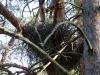 На гнезде самка ястреба-тетерявятника сидит незаметно