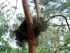Брошенное гнездо канюка может облюбовать бородатая неясыть