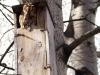 Серая неясыть в искусственном гнездовье. НПП «Гомольшанские леса»