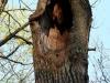 Крупные дупла в дубах относятся к излюбленным гнездовым убежищам серой неясыти