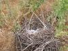 Гнездо кобчика на земле