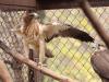 Орел-карлик, светлая вариация