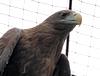 Самка орлана-белохвоста
