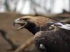 Старая самка орла-могильника
