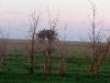 Гнездо степного орла в лесополосе