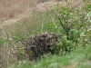 Самка степного орла на гнезде