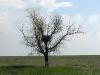 Гнездо курганника на одиноком дереве