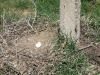 Гнездо курганника на земле
