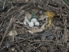Эта кладка степняка также из трех яиц