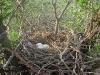 Гнездо курганника в Астраханской области
