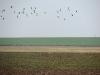 Когда наши птицы уже на гнездах, в степи идет пролет гусей