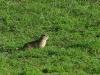 Малый суслик – основной корм орлов